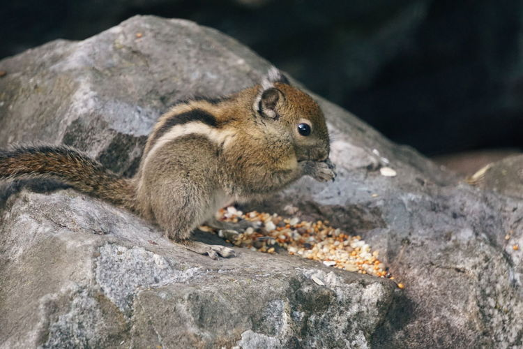 Side View Of Squirrel Eating Food On Rock