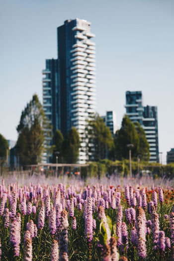 Purple flowering plants on field by buildings against sky