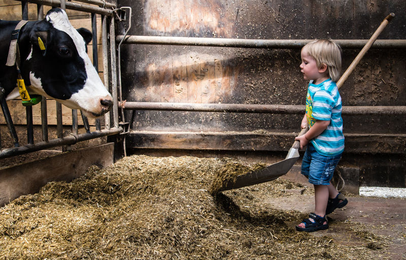 Side view of boy feeding cow in shed
