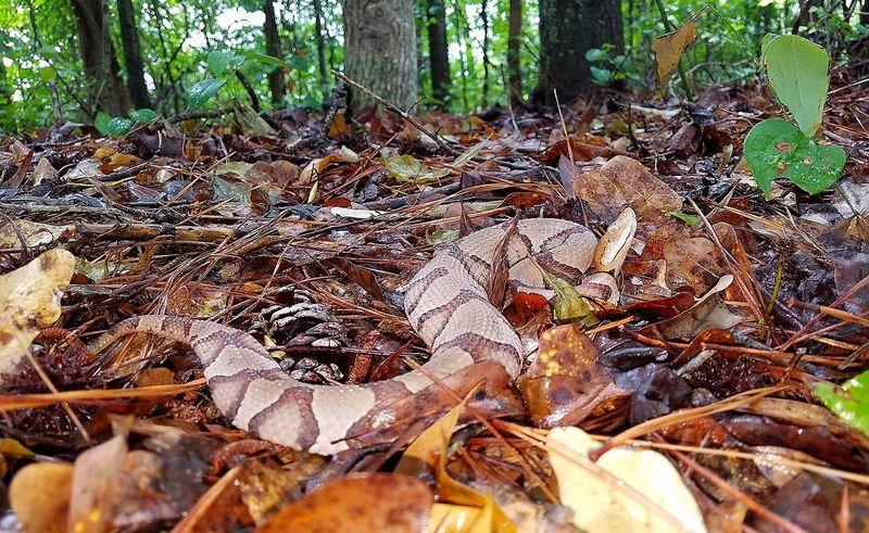 Copperhead Agkistrodon contortrix Nature Reptile Snake Venomous Snakes First Eyeem Photo
