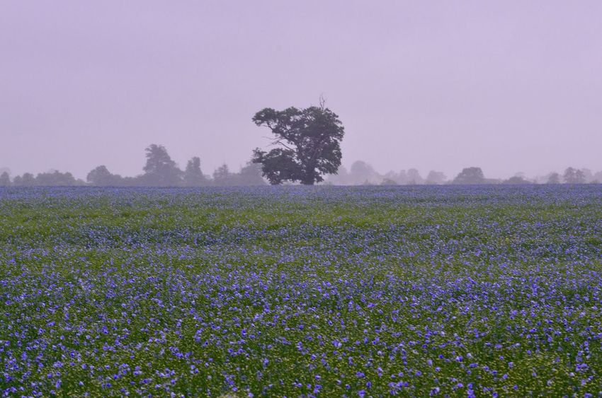 Cotswolds Linseed Flowers Flower Tree Landscape Field Blue The Great Outdoors - 2015 EyeEm Awards Landscapes With WhiteWall