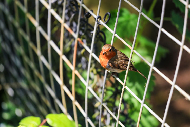 A robin perches on a chain link fence. Animal Animal Themes Animals In The Wild Bird Chainlink Fence Close-up Day Fence Focus On Foreground Full Length Garden Metal Nature Nature No People One Animal Outdoors Perching Protection Railing Robin Safety Selective Focus Wildlife Wildlife & Nature