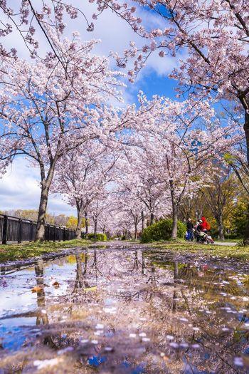 水たまり桜レフレクション 雨上がりの桜の木の下に水たまりが出来ています。 Blue Sky OSAKA Japan Photography Japan Springtime Cherry Blossom Cherry Tree Water Tree Reflection Puddle Sky