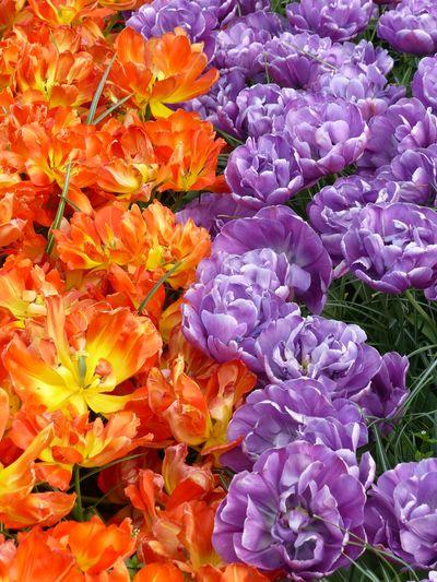Full frame shot of purple flowers blooming outdoors