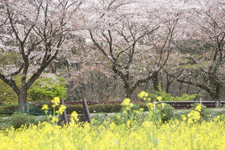 Cherry Blossom Field Mustard SakuraFubuki Nature_collection EyeEm Nature Lover EyeEm Best Shots