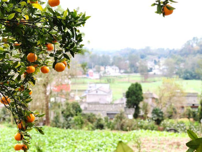 Tree Fruit Orange Tree Citrus Fruit Agriculture Greenhouse Flower Hanging Rural Scene Sky
