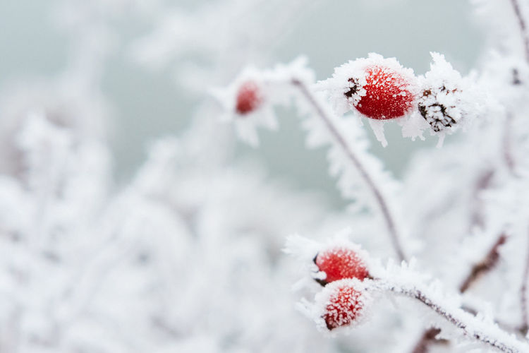Beauty In Nature Berry Fruit Close-up Cold Temperature Day Fujifilm Nature No People Outdoors Snow Weather Winter Xpro2