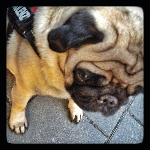 """""""Ein Leben ohne #Mops ist möglich, aber sinnlos."""" #Loriot Dog Hund Pug Tier Mops Loriot"""