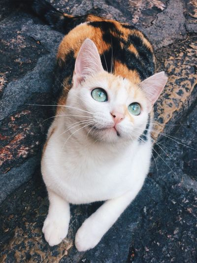 Cat Domestic Cat Pets Domestic Animals Animal Themes High Angle View Feline One Animal Mammal Looking At Camera Portrait Day Whisker Outdoors No People Sitting Close-up