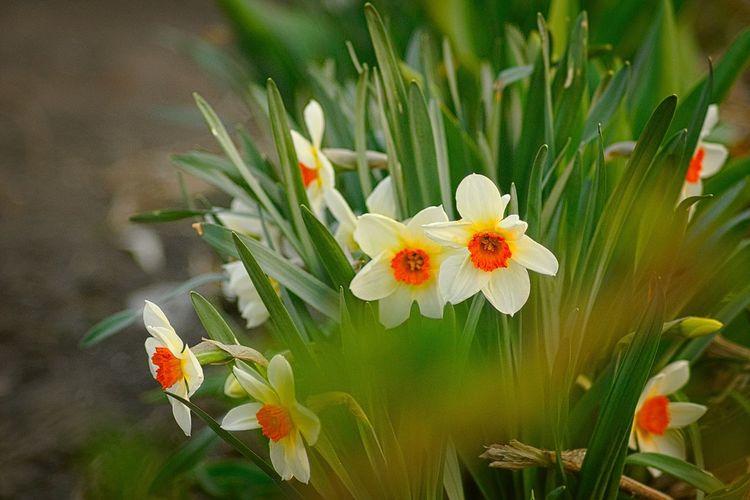 Narcis Flowers Garden Nature Spring природароссии Нарцисс цветы весна Россия