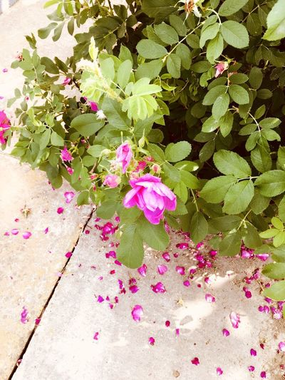 Roses Plant Flowering Plant Flower Beauty In Nature Freshness Pink Color Growth Nature High Angle View Day Vulnerability  Fragility Close-up No People Leaf Plant Part Petal Green Color Outdoors Springtime