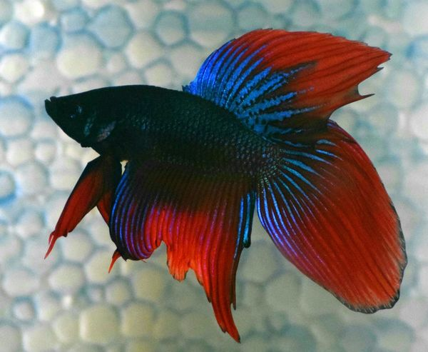 Betta Lovers Bettas Blue Colored Good Morning Eyeem4photography Nikon D5300 Photographer Aquarium Fighter Fish Scales And Fins Fish Moon Tail EyeEm Shiny Blue Bettasiamesefish Fish Photography Animal Photography Bettafishcommunity Taking Photos Hello World Hi! Enjoying Life Check This Out Eyeem Photography EyeEm Gallery My Betta