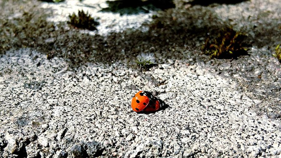 Lady Bug Love EyeEm Nature Lover Lady Bugs Nature_collection Nature On Your Doorstep Must Be Love  Love Photography Love Photograph Nature Sony Z5 The Great Outdoors With Adobe Bug Love Buggy Style Natures Diversities Macro_collection Macro EyeEm Best Shots The Great Outdoors - 2016 EyeEm Awards Insect Photography Animals Colour Of Life Colour Palette Two Is Better Than One EyeEm Best Shots - Nature The Week On EyeEm Perspectives On Nature