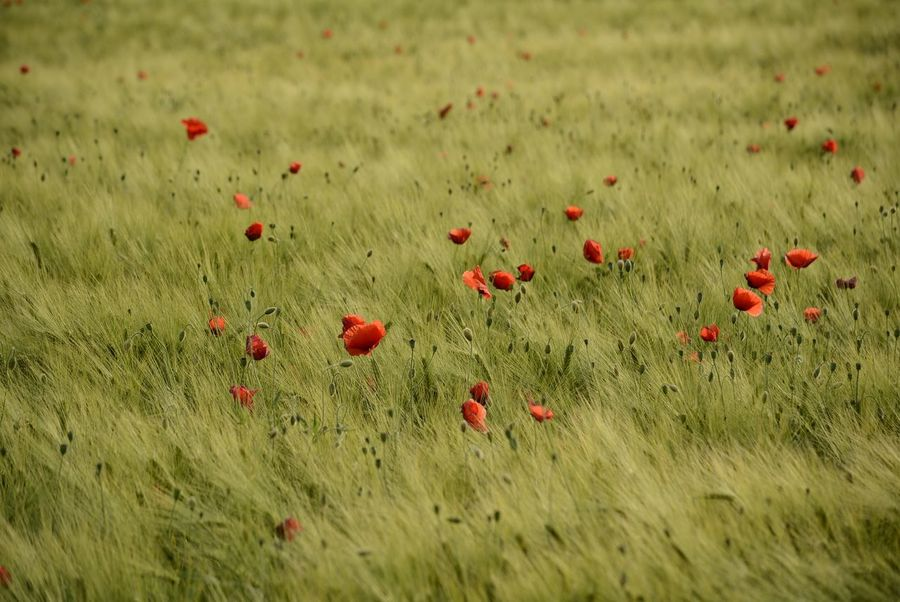 Poppies Field Cornfield Green Color Poppies In Cereal Field Nature Collection Red Poppy Flower Perfect Shot Beauty In Nature Eyeem4photography EyeEm Gallery Capture The Moment Poppy The Great Outdoors - 2017 EyeEm Awards Hello World Nikon_photography_ Enjoy The Nature Nature Baden Austria So Beautiful View Field Flowers Agrarwirtschaft Great View Wonder Of Nature Nikon_photography Enjoying The Moment Paint The Town Yellow EyeEm Ready   EyeEmNewHere Colour Your Horizn Summer Exploratorium 10 The Great Outdoors - 2018 EyeEm Awards