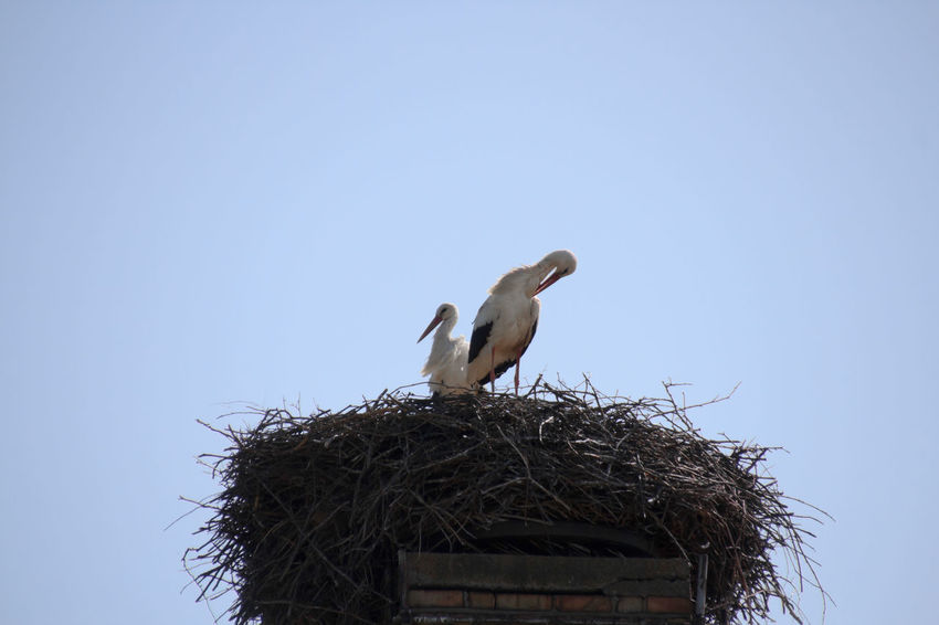 Stork couple in the Nest - Storchenpaar im Nest Animal Nest Animal Themes Animals In The Wild Beak Bird Bird Nest Bird Photography Birds Birds Of EyeEm  Birds_collection Birds🐦⛅ Ciconia Ciconia Ciconiidae Clear Sky Day EyeEm Birds Low Angle View Nature No People Outdoors Stork Stork Couple Storks White Stork