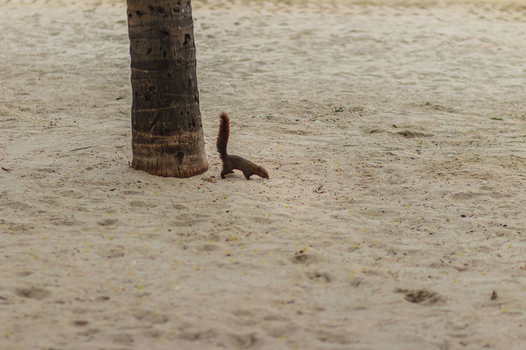 Cute squirrel is climbing down from coconut tree to the sand beach and finding for food. Beach Life Coconut Trees And Beaches Coconut Trees Everywhere Sand Beach Squirrel Squirrel Photo Animal Animal Body Part Animal Themes Animal Wildlife Animals In The Wild Beach Climbing Down Close-up Coconut Tree Coconut Tree; Cute Squirrel Day Dirt Field Finding For A Place Finding For Food High Angle View Land Mammal Nature No People One Animal Outdoors Sand Sand Beach Footprint Selective Focus Squirrel Life Vertebrate