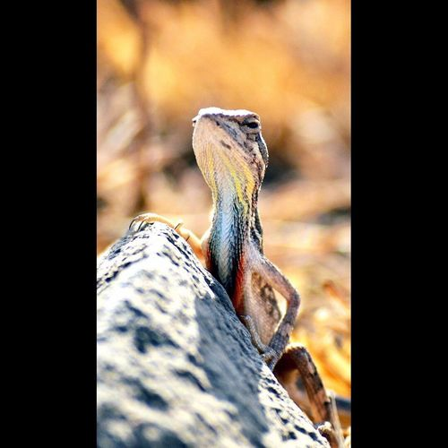Fan throated lizzard Reptile Animals In The Wild First Eyeem Photo