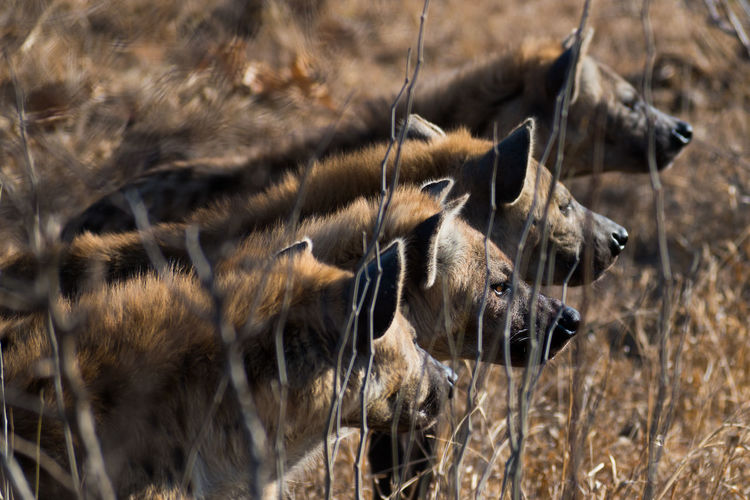Spotted hyenas line up waiting for their chance to feed in the manyeleti game reserve, south africa