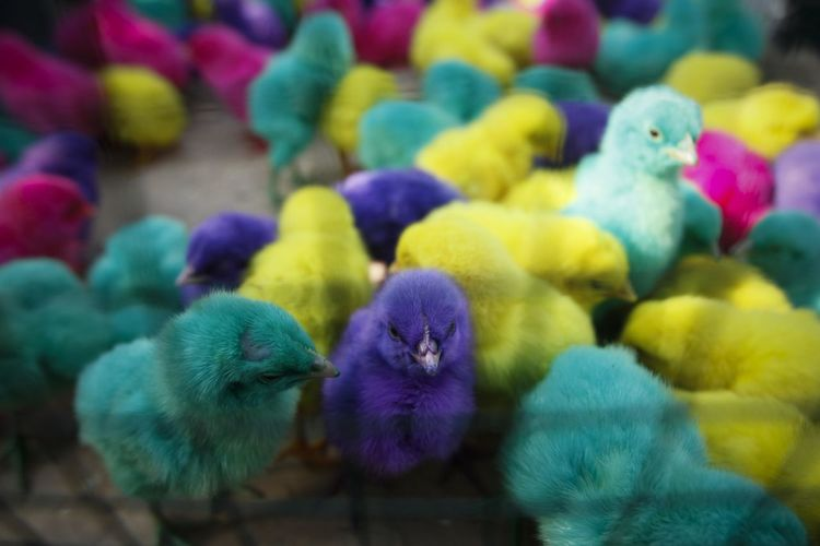 Colorful chickens in Indonesia. Bird Animal Animal Themes Vertebrate Group Of Animals Young Bird Animal Wildlife Close-up No People Parrot Animals In The Wild Multi Colored Day Baby Chicken Blue Young Animal High Angle View Large Group Of Animals Focus On Foreground Chicken - Bird