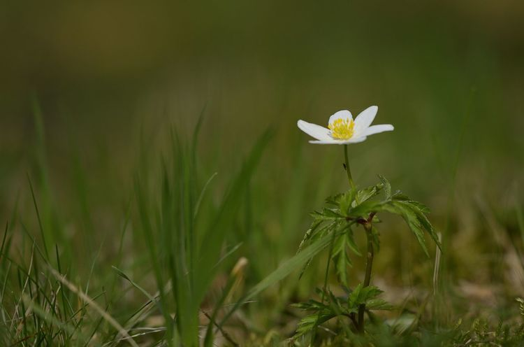 Beauty In Nature Close-up Flower Freshness Grass Macro Photography Nature Springtime Wood Anemone