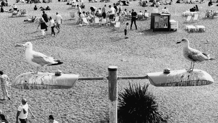 ' Grockles ' Bird Animals In The Wild Beach Seagull Leisure Activity Perching Urban Wildlife Brighton Black And White Seagulls Lamppost Tourists Seaside -- B