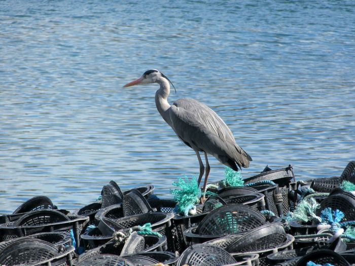 Gray heron on baskets floating on river