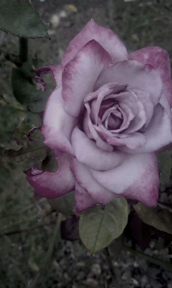 Roses Pink Rose Mess Up Beautiful Nature #rose #beauty #nature #flower #love #eyeem #sun