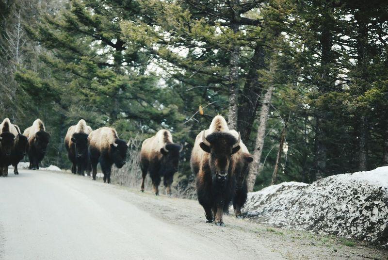 First Eyeem Photo Buffalo Bison Bison, Buffalo, Blackbirds, Wyoming, Wild, Animal, Horns, Fur, Raw, Bisongroup Yellowstone Yellowstone National Park Yellowstone Wildlife