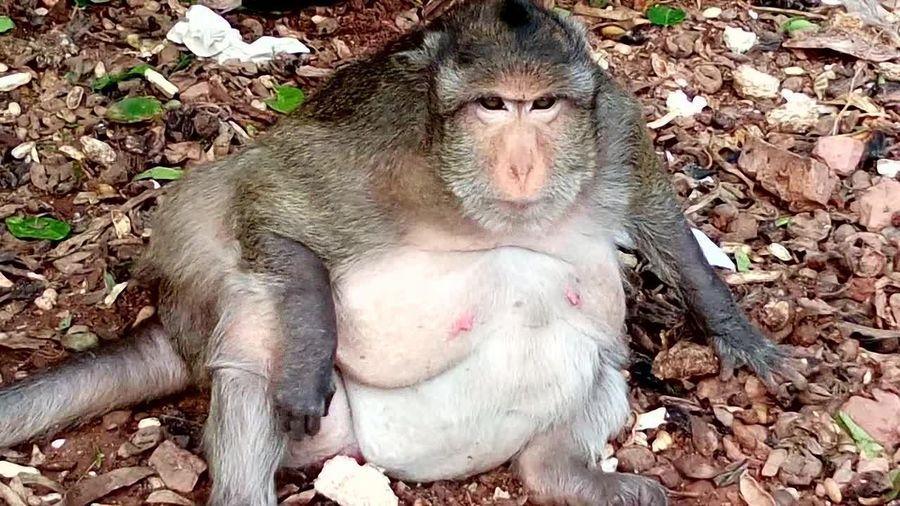 obese monkey Monkey Family Monkeys Animal Wildlife Day Fat Fat Animal Fat Monkey Field High Angle View Monkey Monkey Forest Monkey Love Nature Obese Obese Monkeys One Animal Outdoors Primate Sitting Vertebrate