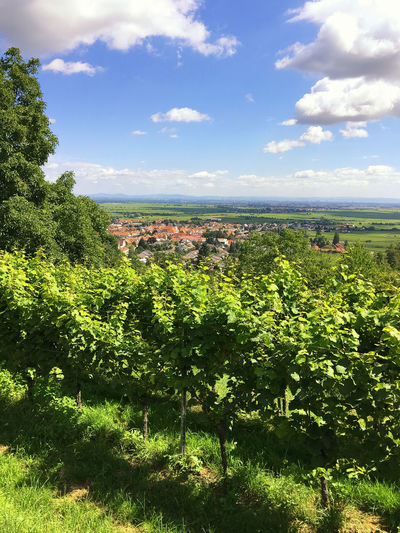 winegrowing in Wachenheim Agriculture Beauty In Nature Cloud Cloud - Sky Cultivated Land Day Field Green Green Color Nature Nature No People Outdoors Remote Rural Rural Landscape Rural Scene Sky Sunny Day Tranquility Tree Wachenheim Weinstraße Wine Winegrowing