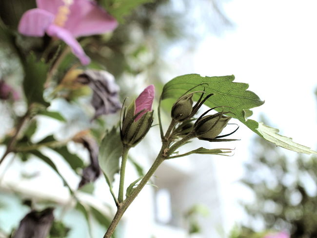 Buds Pink Rose Of Sharon Beauty In Nature Close-up Flower Flower Head Flowering Plant Focus On Foreground Fragility Freshness Green Color Growth Leaf Nature Outdoors Plant