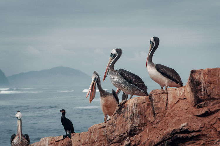 Exploring La Isla. Sea Water Nature Travel Destinations South America Latin America Wildlife Bird Island Ocean Group Of Animals Animal Themes Animal Animals In The Wild Pelican No People Outdoors Seagull Mountain Perching Solid Animal Wildlife Rock Sky Peak The Week On EyeEm Editor's Picks