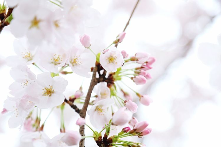 Growth Beauty In Nature Tree Close-up Flower No People Springtime Blossom Flower Head Cherry Blossoms Japan Beautiful PLZ FOLLOW ME