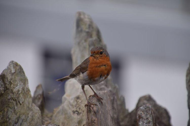 Rotkehlchen Singvogel Vogel