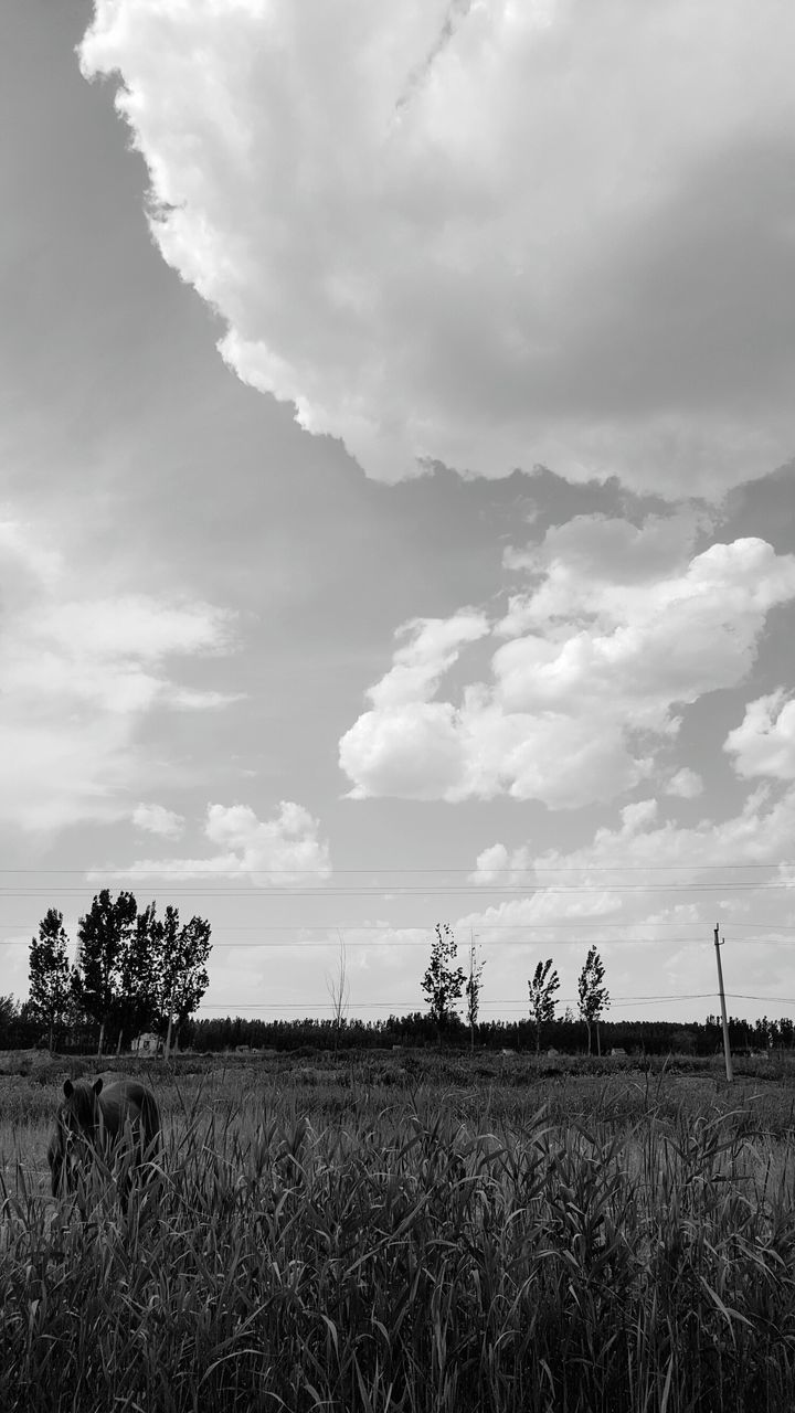 field, sky, agriculture, cloud - sky, growth, nature, day, landscape, rural scene, outdoors, tranquility, beauty in nature, scenics, grass, no people, tree