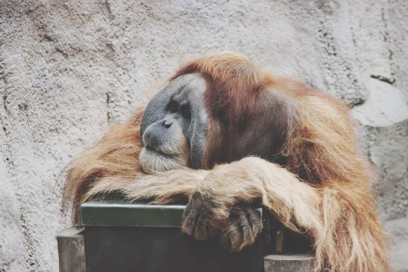 Close-up of a monkey resting on wall