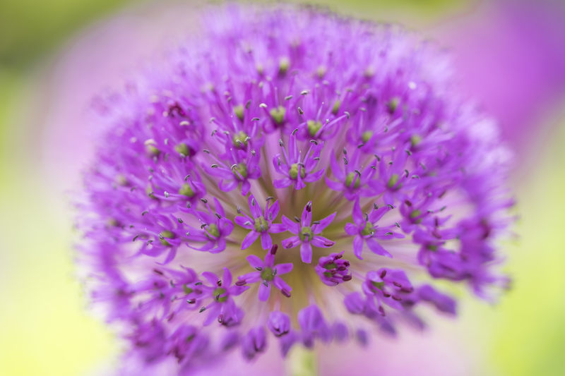 starlight leek a purple flower Blume Sternkugellauch Allium Cristophii Beauty In Nature Blumenpracht🌺🍃 Close-up Day Flower Flower Head Flowers, Nature And Beauty Fragility Freshness Growth Nature No People Outdoors Pink Violett Plant Purple Purple Flowers Starlight Leek Violet Flowers
