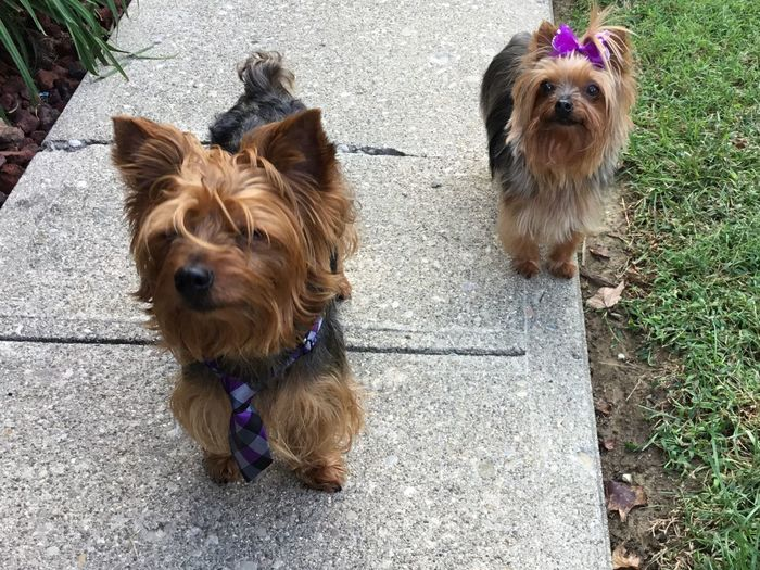 GIZMO & AVA. SHE WAS YAPPING AND HE MADE THIS FACE, LOL FUNNY ANIMALS Pets Animal Themes Funny Looking Dog That Look... Dog YorkieBestShots Yorkies