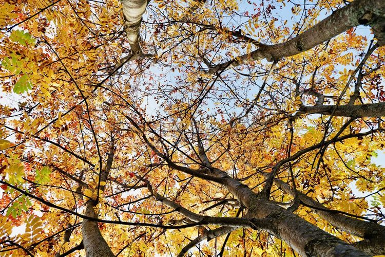 Low angle view of cherry tree against sky during autumn