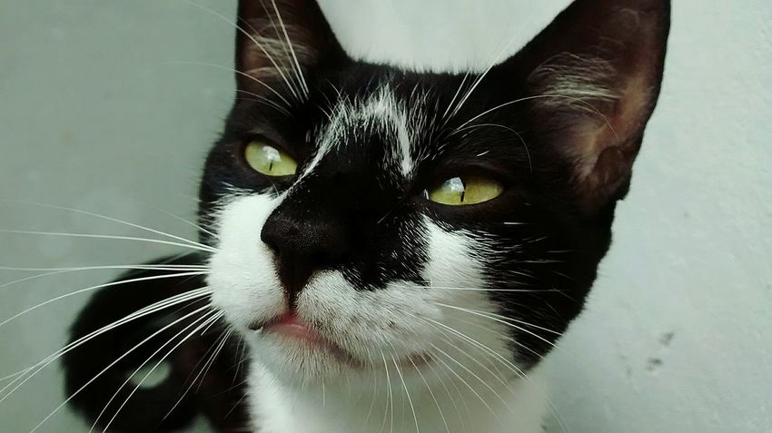 Domestic Animals Domestic Cat Pets Feline One Animal Portrait Animal Themes Animal Eye Animal Head  Black Color Animal Animal Body Part Looking At Camera Animal Hair No People Indoors  Close-up