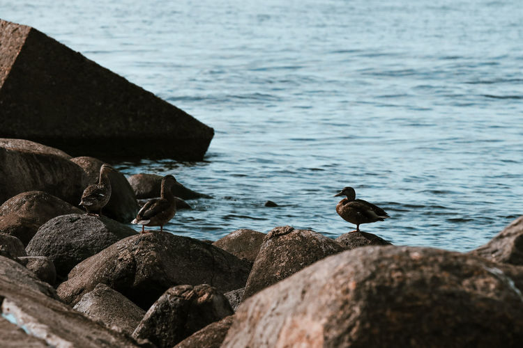 Seagulls perching on rock by sea