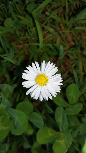 Flower Freshness Fragility Flower Head Petal Growth Beauty In Nature Close-up White Color Single Flower Nature In Bloom Daisy Blossom Springtime Plant Green Color Bloom Focus On Foreground Day