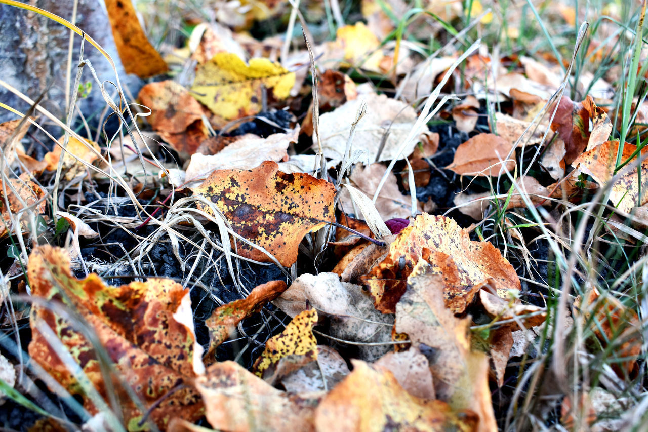 leaf, plant part, dry, nature, day, autumn, selective focus, no people, land, close-up, field, outdoors, leaves, plant, change, full frame, backgrounds, high angle view, falling, fragility