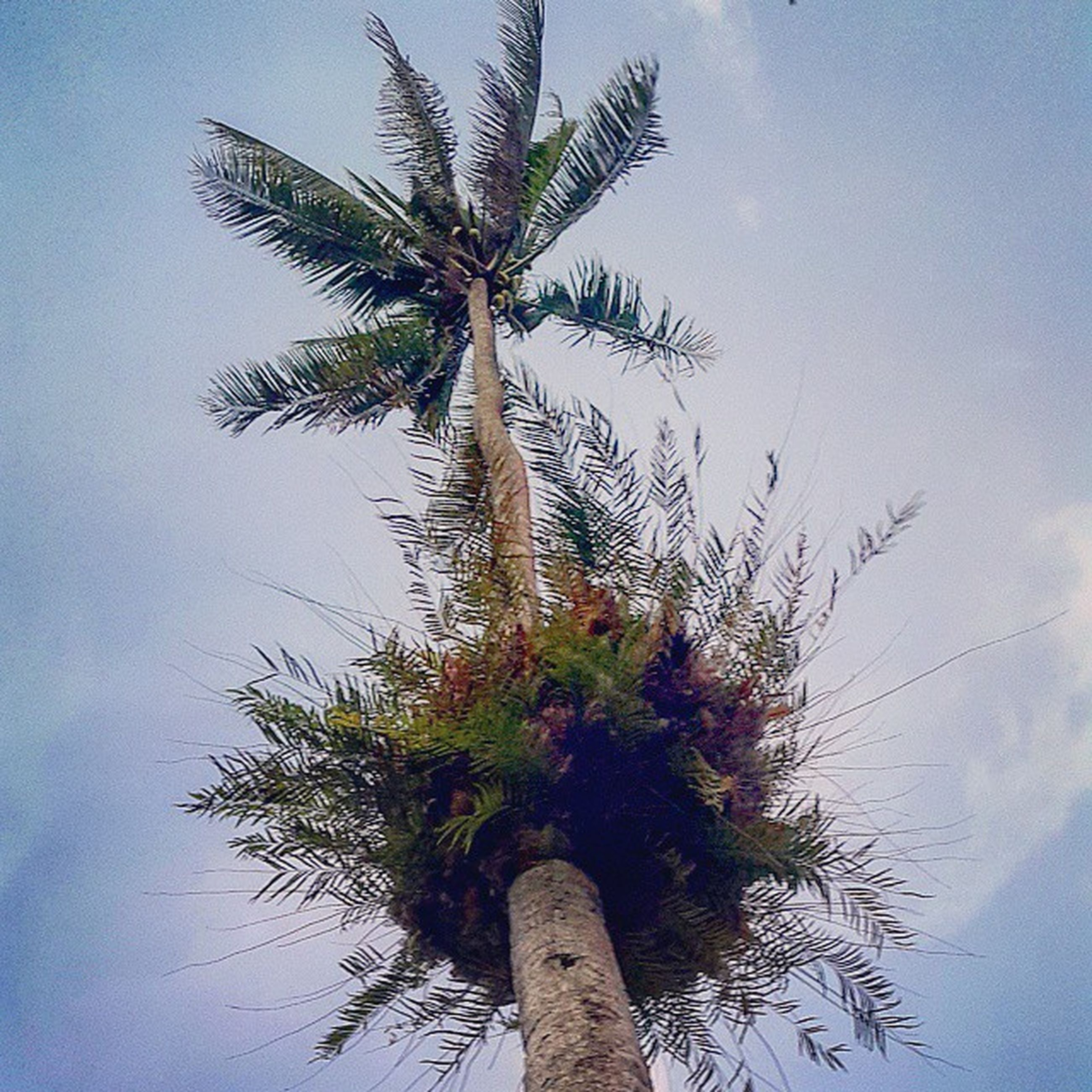 palm tree, low angle view, tree, growth, sky, tree trunk, nature, tall - high, tranquility, beauty in nature, branch, clear sky, palm leaf, no people, coconut palm tree, outdoors, day, scenics, silhouette, cloud - sky