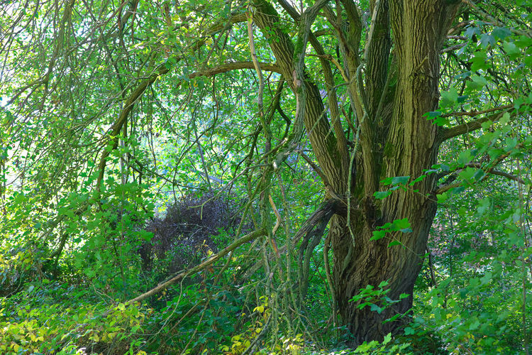 German jungle Beauty In Nature Branch Day Foliage Forest Green Color Growth Land Lush Foliage Nature No People Non-urban Scene Outdoors Plant Rainforest Scenics - Nature Tranquil Scene Tranquility Tree Tree Trunk Trunk