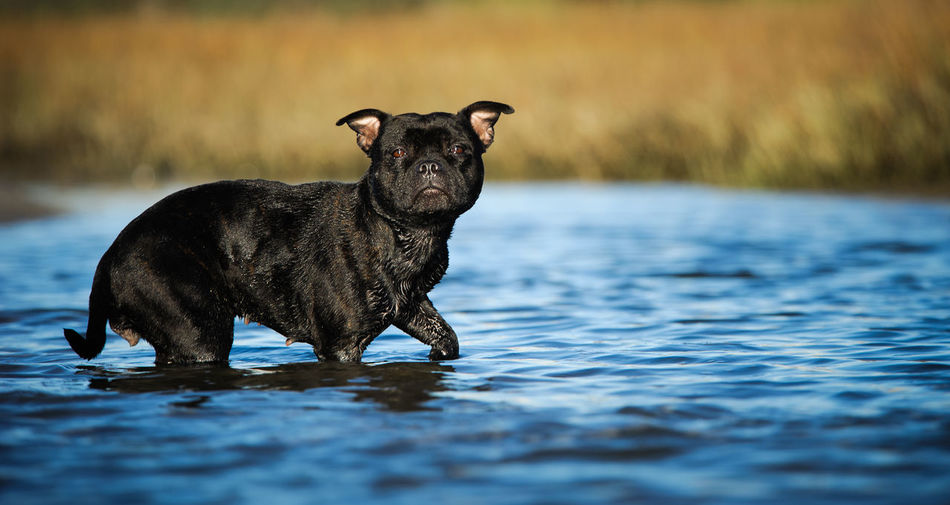 One Animal Animal Themes Animal Mammal Water Pets Domestic Dog Canine Black Color Day No People Waterfront Portrait Staffordshire Bull Terrier Terrier Staffie Staffy