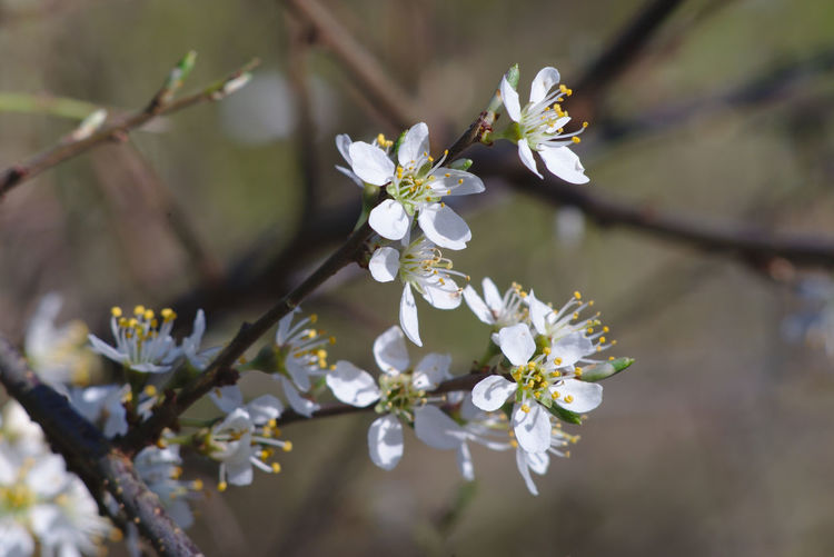 Blossoming blackthorn, sloe, Prunus spinosa Flower Flowering Plant Plant Blossom Close-up Nature Springtime White Color Focus On Foreground No People Pollen Twig Blackthorn Sloe Prunus Spinosa Spring Blooming April Flowering Bush Bushes Hedge Hedgerow Wildflower Wild Flowers Blossoms  Easter Germany Schleswig-Holstein Selective Focus Outdoors Thorny Bee-friendly Petal Bloom Freshness Fragility Vulnerability  Beauty In Nature Flower Head Wildflowers Bloomings Natural Medicine Shrub Shrubs Blackthorn Blossom Sloe Blossoms Small White
