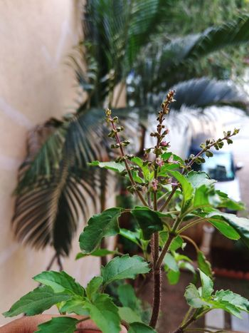 Macro shot focus on the plant Neem Tulsi Tree Leaf Branch Close-up Sky Plant Flower Head Petal In Bloom Symbiotic Relationship