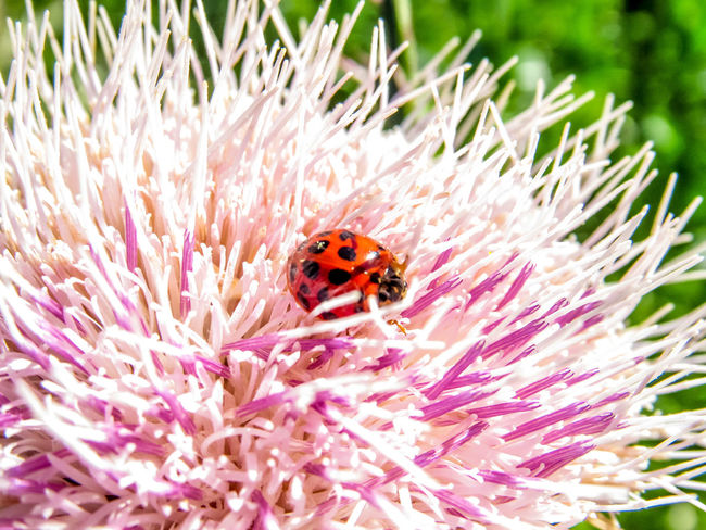 ladybug Red Red Ladybug Ladybug Ladybird Thistle Predator Good Insect Insect Macro Nature Nature Photography Outdoor Macro Photography Beetle Beauty In Nature Pollination Flower Head Flower Pollination Bee Insect Petal Close-up Animal Themes Plant Wildlife Stamen Symbiotic Relationship Buzzing In Bloom
