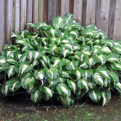 Rainy day 💚 Hosta Plant Green Color Growth Nature Abundance Close-up Beauty In Nature